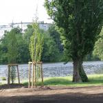 Lietzenseepark. Pyramidenpappeln am Seeufer